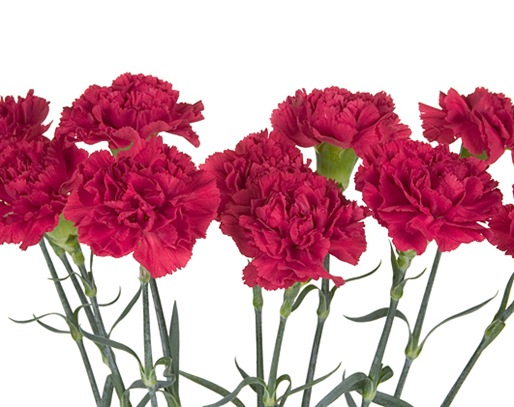 1-20-januarys-flower-the-carnation